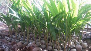 jual bibit kelapa kopyor unggulan murah berkualitas