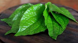 khasiat manfaat daun sirih
