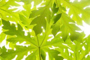 Manfaat daun pepaya untuk ibu wanita hamil