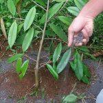 cara memupuk pohon durian
