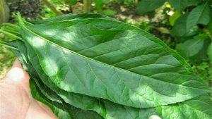 khasiat daun afrika