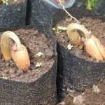 semai bibit biji durian